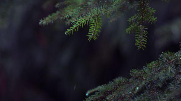 Фото бесплатно дождь, сосны листья, закрыть
