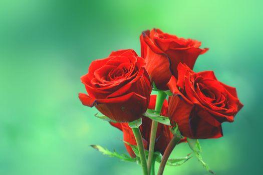 Фотографии розы, цветы на телефон