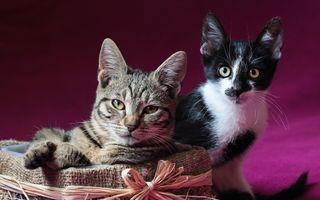 Фото бесплатно кошка, пара, усы