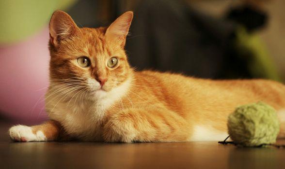 Фото бесплатно кошка, лежать, глядит в сторону
