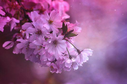 Фото бесплатно японская вишня, цветение, цветущая ветка