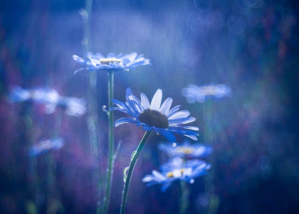 Фото бесплатно поле, цветы, ромашка, ромашки, флора, макро, цветы
