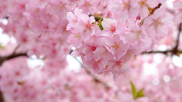 Фото бесплатно цветение сакуры, розовые лепестки, дерево
