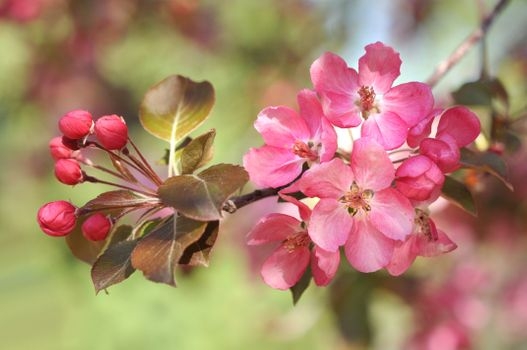 Cherry blossoms · free photo