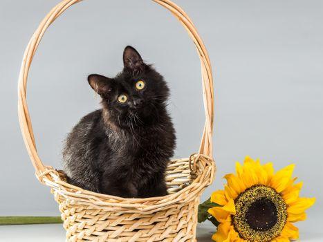 Заставки черная кошка, корзина, подсолнечник