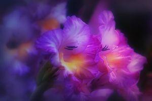 Заставки гладиолус, цветы, цветок