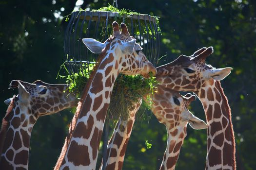 Photo free animals, giraffe, eating