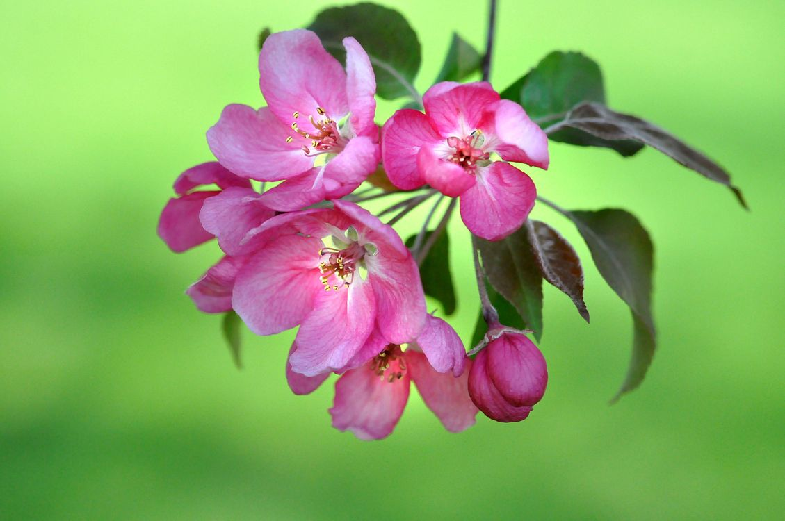 Фото бесплатно sakura, Cherry Blossoms, ветка, цветы, флора, весна, цветение, цветущая ветка, цветы