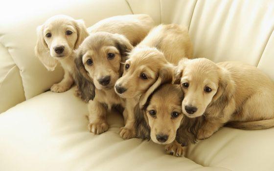 Photo free Golden Retriever, puppies, cute