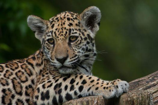 Photo free a young leopard, big cat, predator
