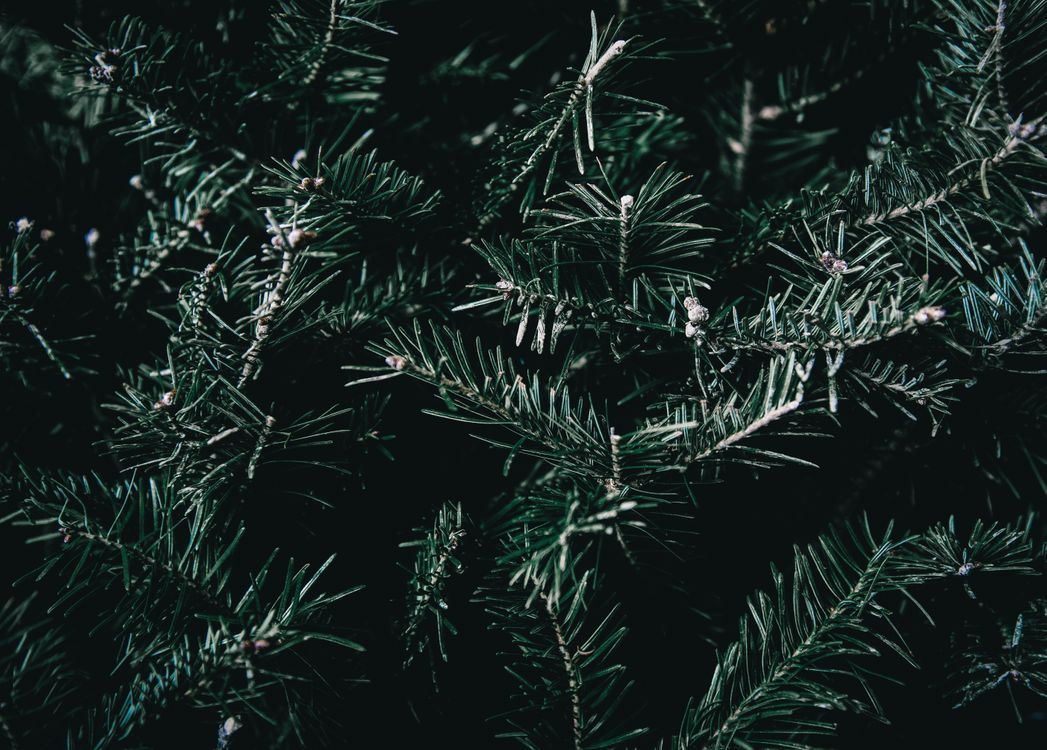 Фото бесплатно ель, ветвь, шипы, spruce, branches, spines, пейзажи