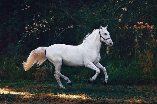 Photo free white horse, majestic, running
