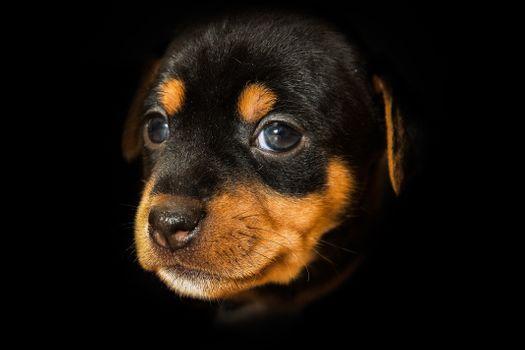 Фото бесплатно Патердейл-терьер, щенок, собака