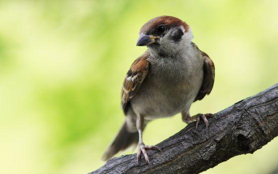Фото бесплатно воробей, сидеть, птицы