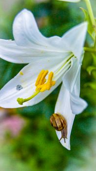 Lily.White.Garden.Lily.Snail on petal.