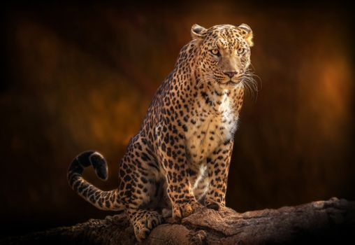 Заставки леопард, большая кошка, поза