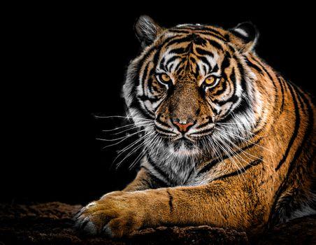 Фото бесплатно тигр, хищник, чёрный фон