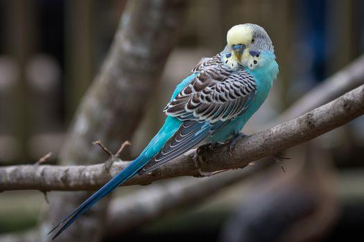 Фото бесплатно волнистый, попугай, птица