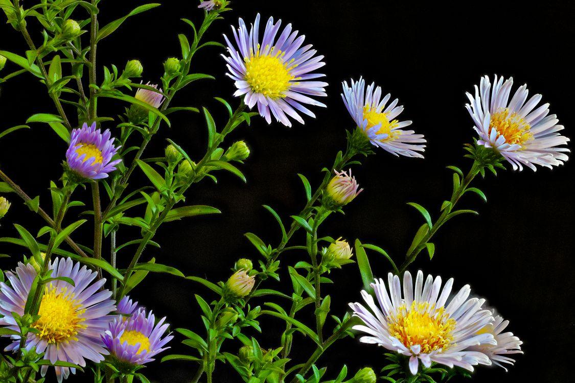 Фото бесплатно Восточные маргаритки, Блошница, Эригерон однолетний, чёрный фон, цветы, флора, цветы