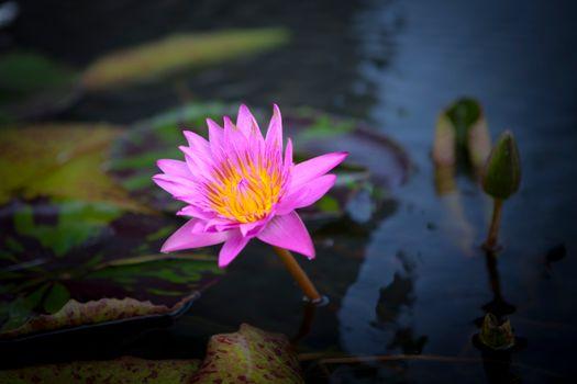 Фото бесплатно цветы, кувшинки, красивый цветок