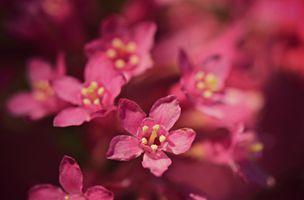 Заставки цветы, розовый цвет, макросъемка