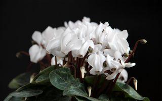 Фото бесплатно цикламен, цветок, флора