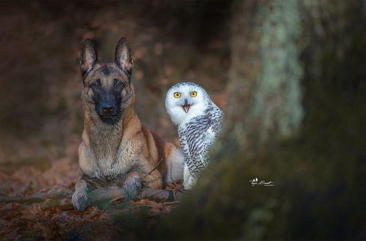 Фото бесплатно немецкая овчарка, животные, собака