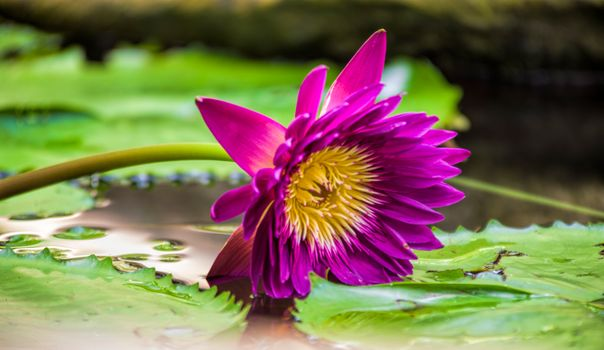 Photo free pond, water beauty, Water Lilies
