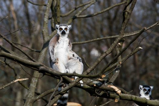 Photo free animal, lemurs, branches