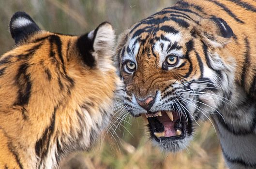 Photo free tigers, predators, teeth