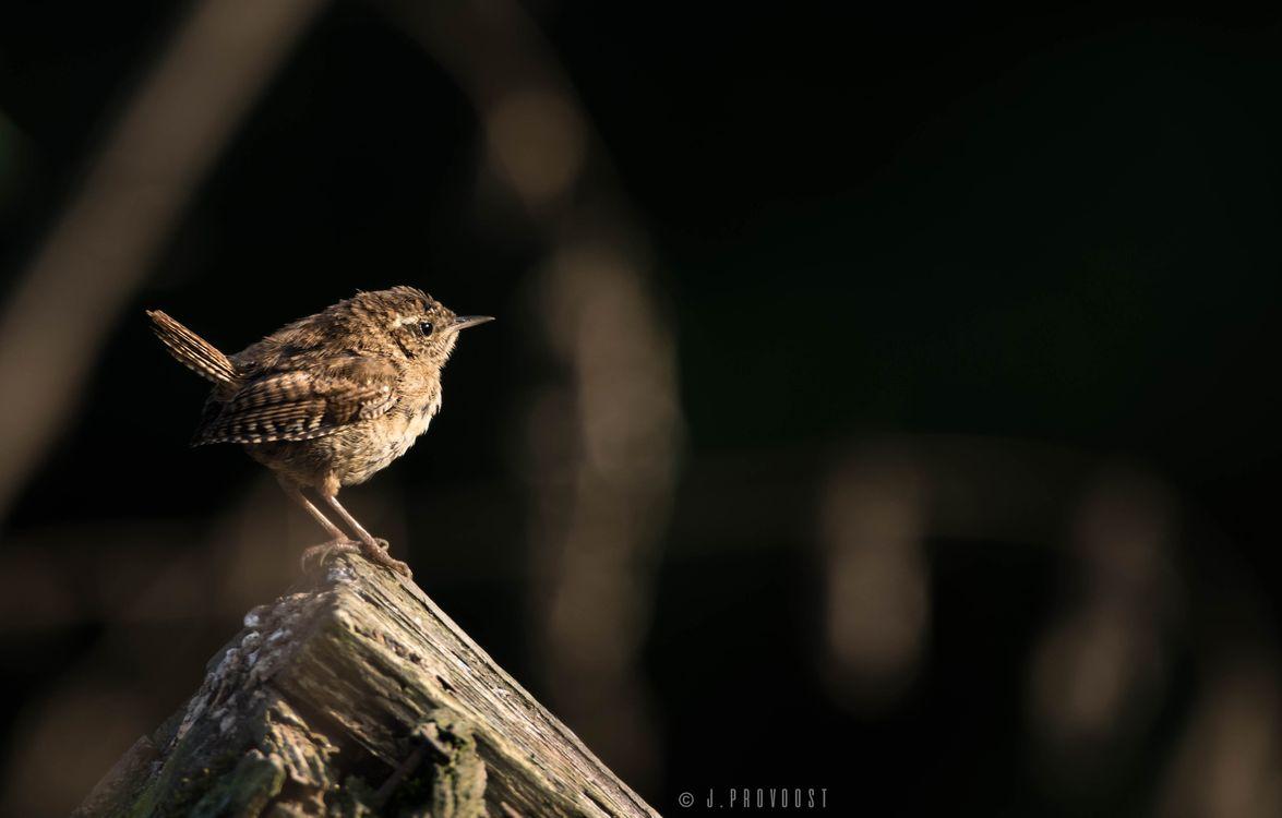 Photos for free bird, brown, dark - to the desktop