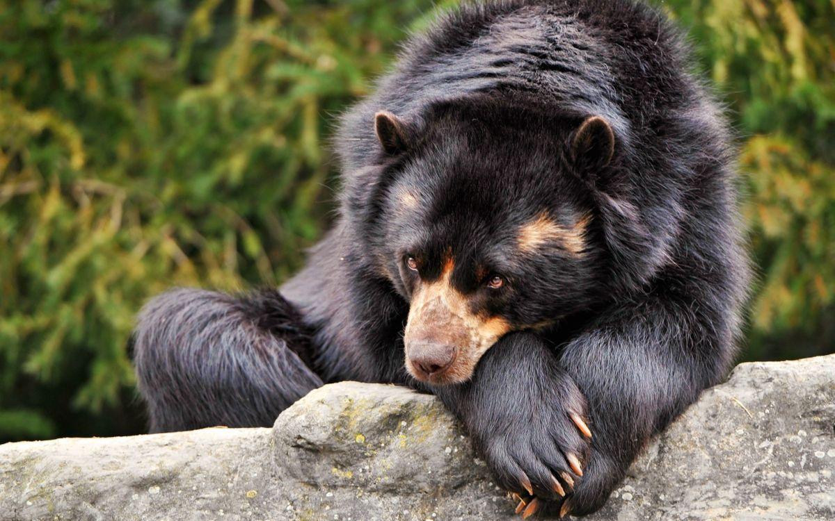 Фото дикая природа медведь грустно - бесплатные картинки на Fonwall