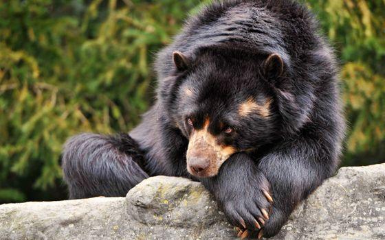 Фото бесплатно дикая природа, медведь, грустно