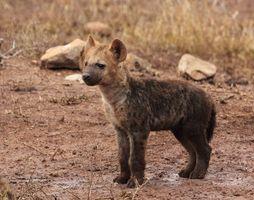 Фото бесплатно гиена, собакоподобное млекопитающее, дикая природа