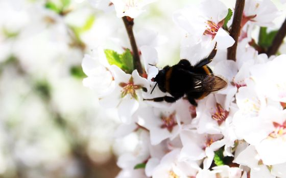 Photo free branch, insect, cherry blossom