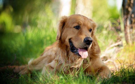 Фото бесплатно трава, собака, устал