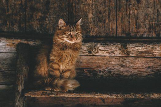 Фото бесплатно персидская кошка, кошка, животные