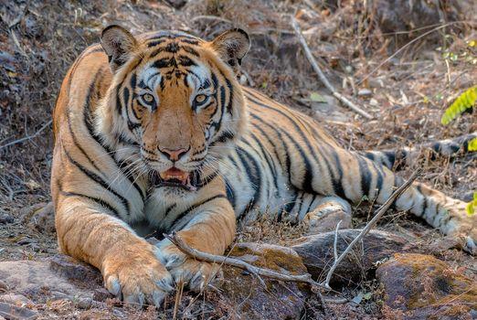 Photo free predator, big cat, beast