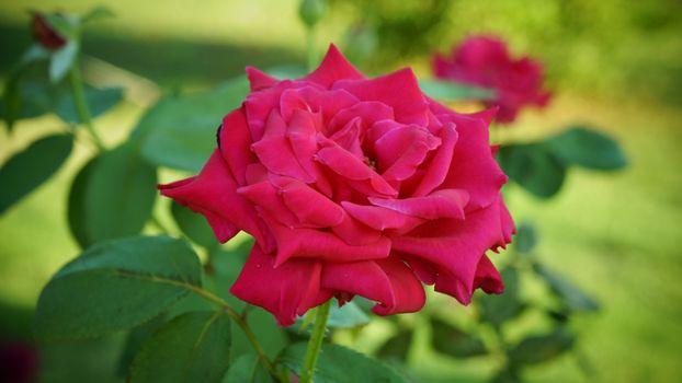 Фото бесплатно роза, макро, розы