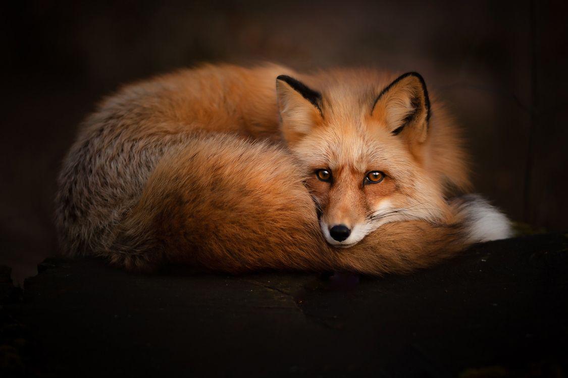 Photos for free Fox, red Fox, predator - to the desktop