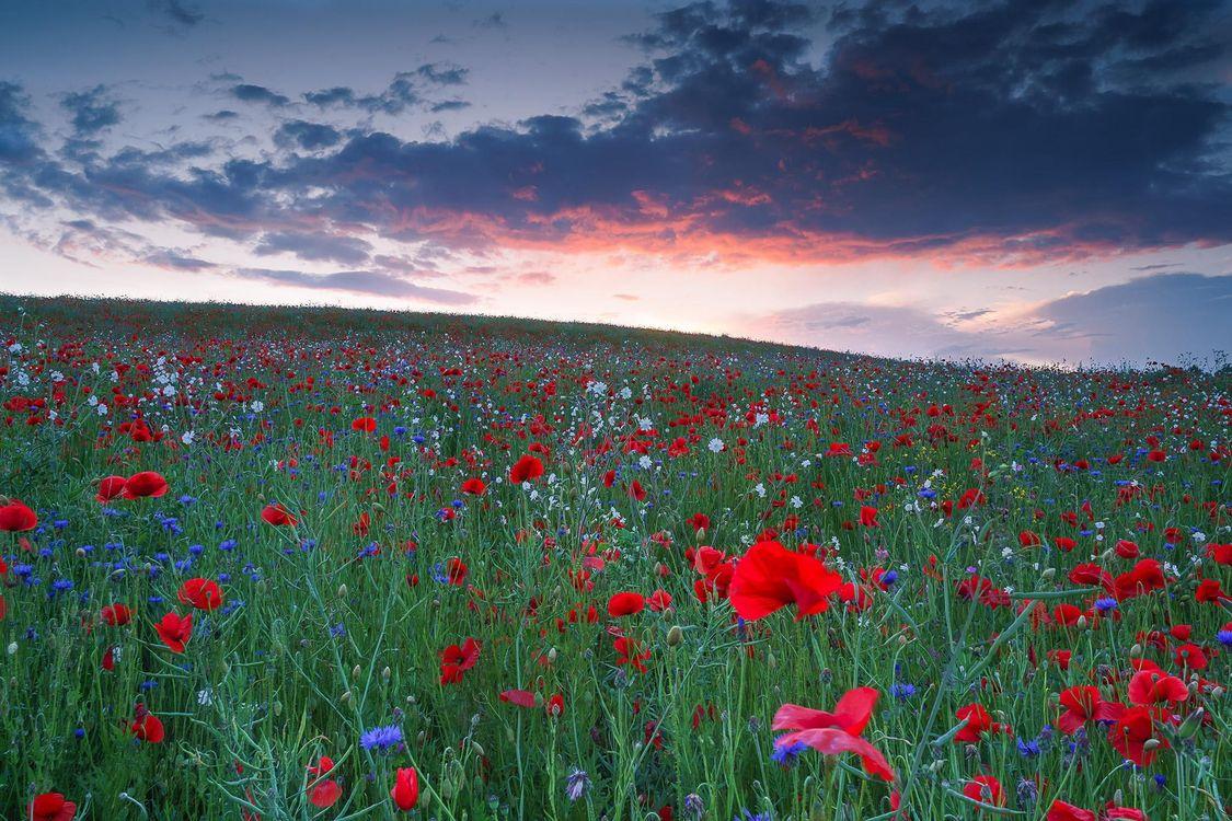 Фото бесплатно закат, поле, цветы - на рабочий стол