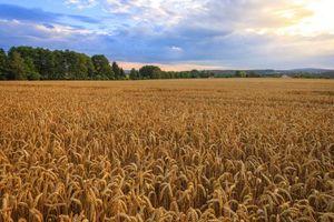 Бесплатные фото закат, поле, колосья, небо, деревья, пейзаж