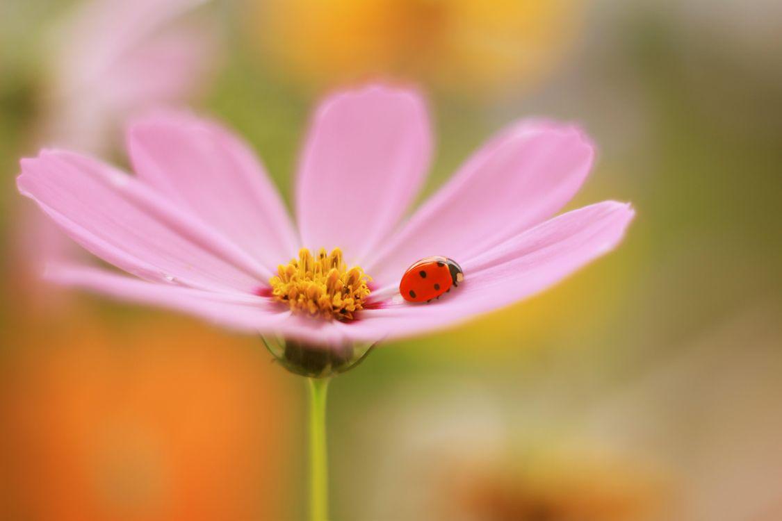 Фото бесплатно божья коровка, цветок, насекомое - на рабочий стол