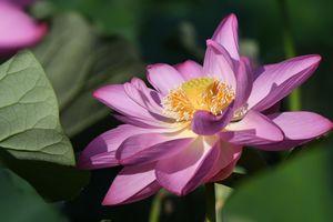 Заставки Lotus,лотос,лотосы,водоём,цветы,цветок,флора