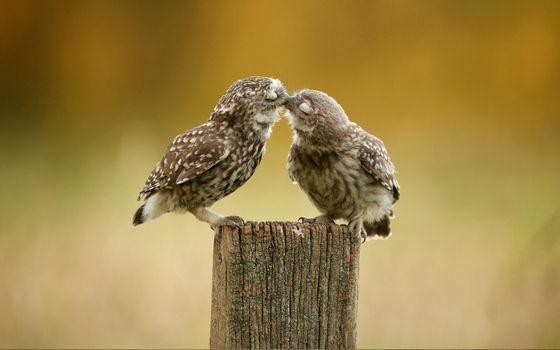 Две влюбленных совы