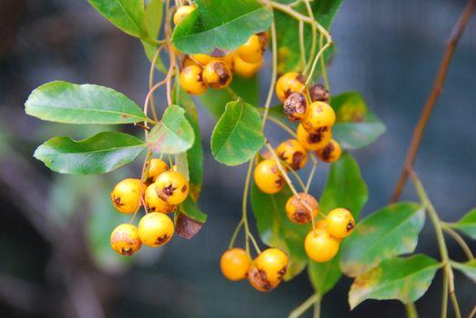Photo free nature, a rowanberry, leaves