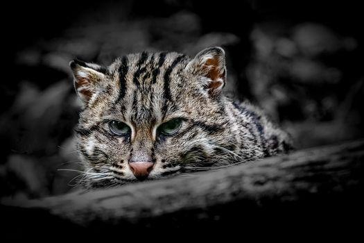 Заставки Дикая кошка юго-восточной Азии, кошка рыболов, фотопортрет