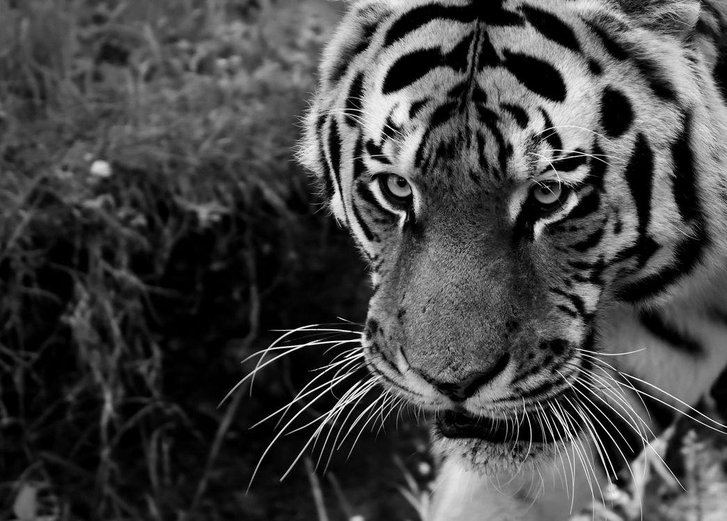 Амурский тигр · бесплатное фото