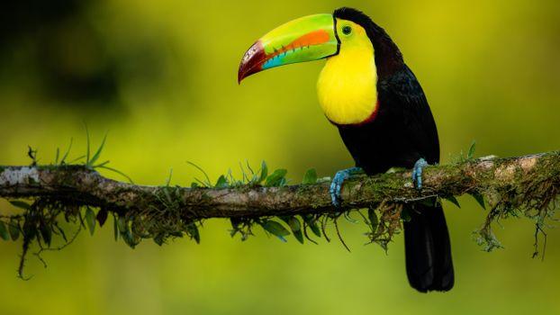 Фото бесплатно тукан, длинный клюв, дикие птицы