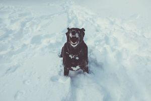 Бесплатные фото собака, оскал, снег, dog, grin, snow